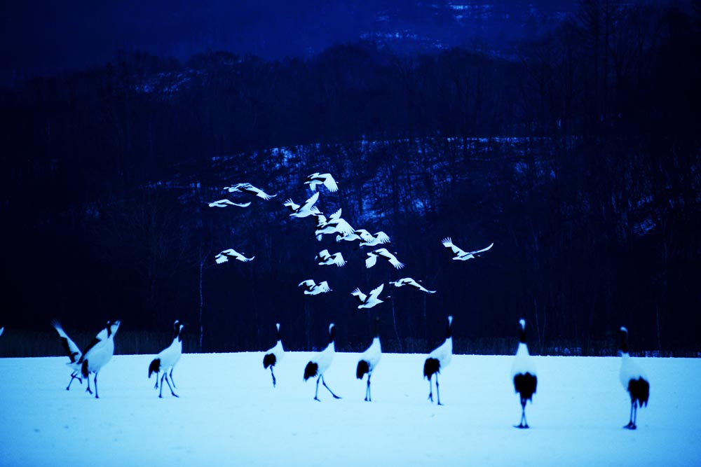 Japanese red-crowned cranes fly out Akan International Crane Center in Hokkaido, Japan.
