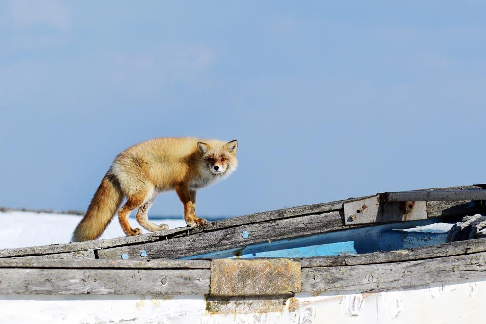 Fox in Notsuke Peninsula, Hokkaido, Japan.