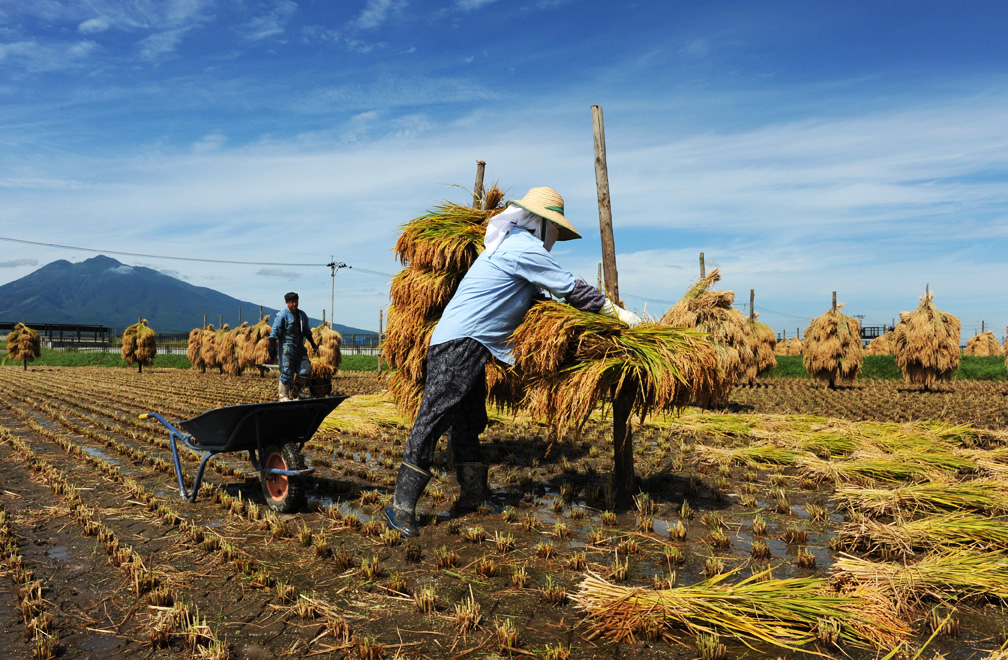 Japanese rice farmers hang rice to dry under th sun in a traditional way in the rice fields at the foot of Mt. Iwaki, Hirosaki, Aomori, Japan.