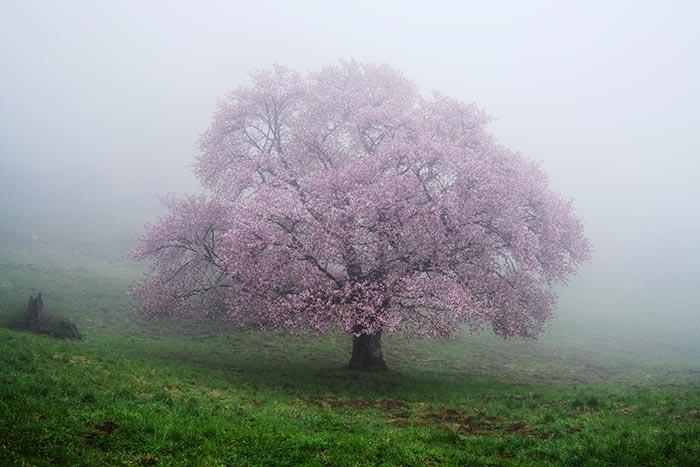 Akashi Travel Cherry blossom Photo Tour