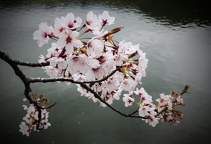 Cherry blossom photo tour to Japan