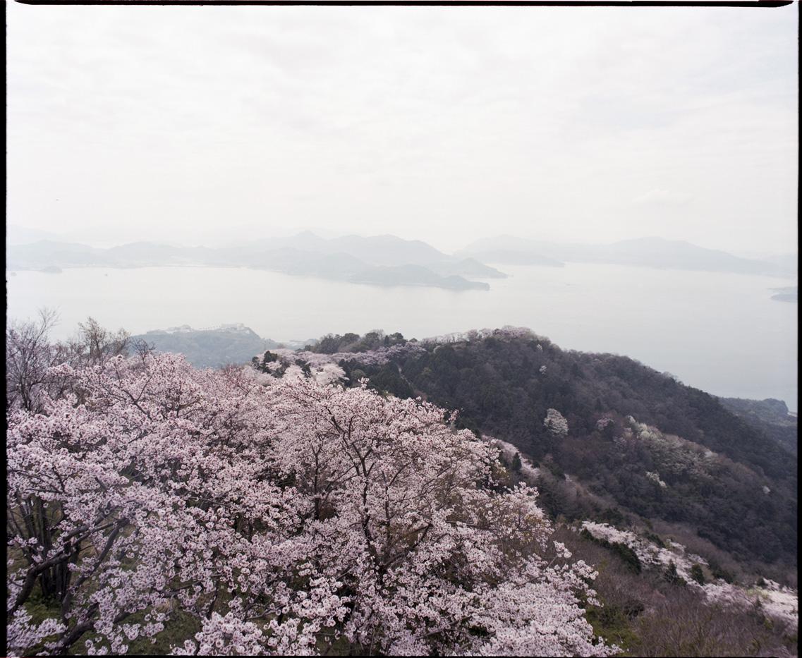 Cherry blossom in Iwagi Island.